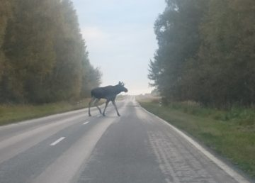 В Тверской области началась миграция лосей, водителей призывают быть внимательнее