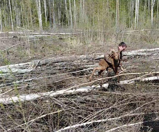 В Тверской области спасли лосенка, застрявшего в куче порубочных остатков