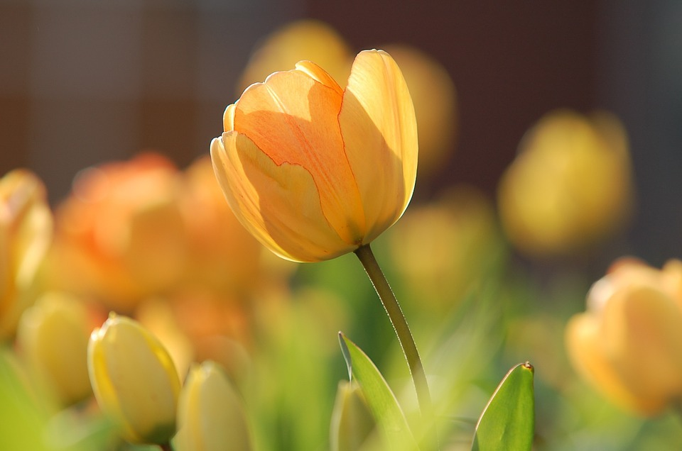 Ботанический сад Твери приглашает на «Бал тюльпанов»