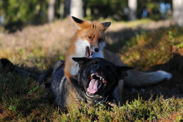 Бешеная лиса в Тверской области покусала собаку