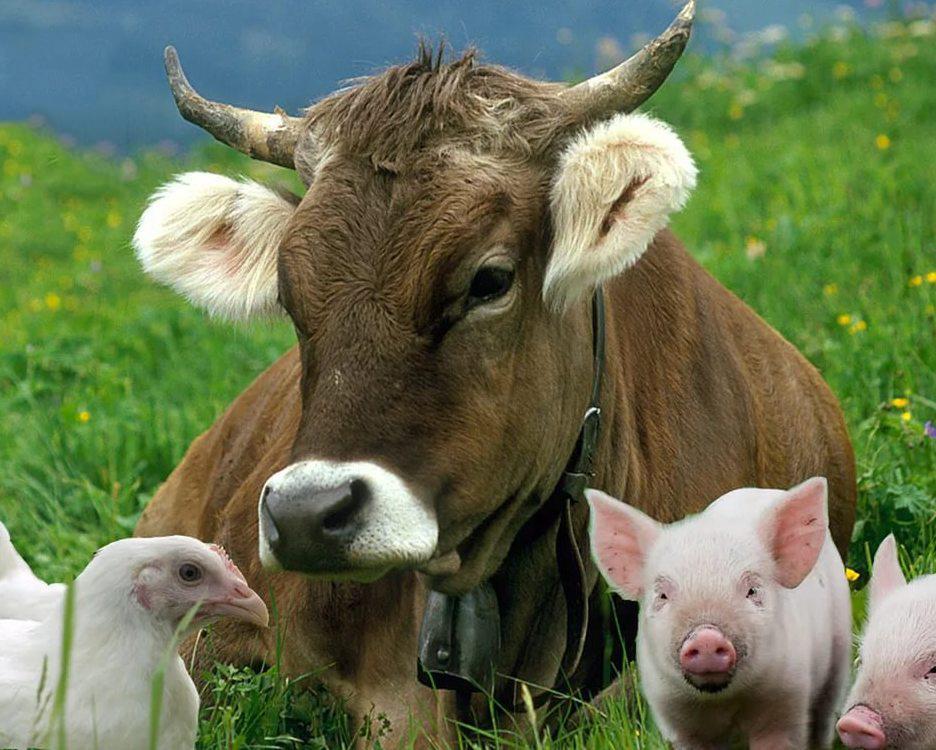 В Тверской области поддерживают племенное животноводство