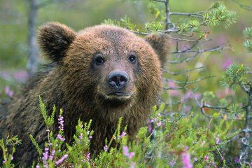 На кладбище под Тверью появился медведь-вандал