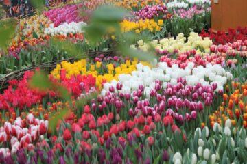 В Твери вырастили целое «море» тюльпанов